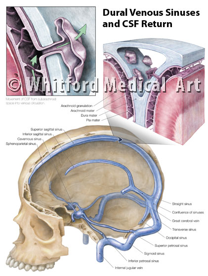 Medical illustration of dural venous sinuses